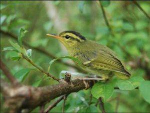 Phát hiện một số loài chim quý hiếm ở Phong Nha – Kẻ Bàng