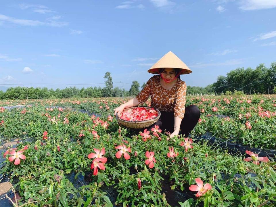 Công đoạn hái hoa Sâm để làm trà- Nguồn Phùng Hiệp Tuệ Lâm