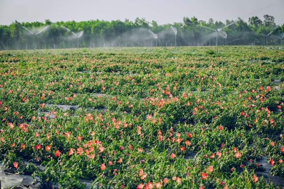 Hoa Sâm Bố Chính thường có màu hồng đỏ rất đẹp- Nguồn Phùng Hiệp Tuệ Lâm